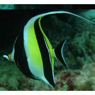 Moorish Idol Buy Saltwater Aquarium Fish Online In India